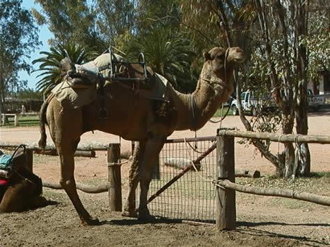 camel_by_gate.jpg