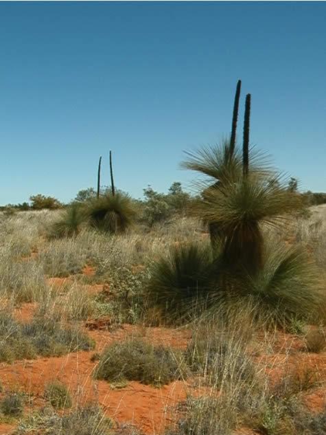 Seed Dispersal Desert_grass_trees