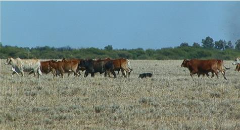 pig_running_cattle.jpg