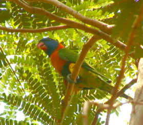 red_collared_lorikeet.jpg
