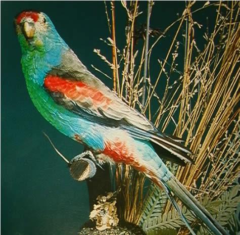 paradise_parrot.jpg
