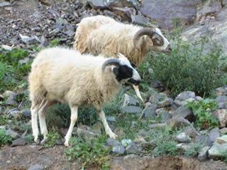 1_sheep.jpg