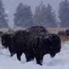 buffalo_snow.jpg