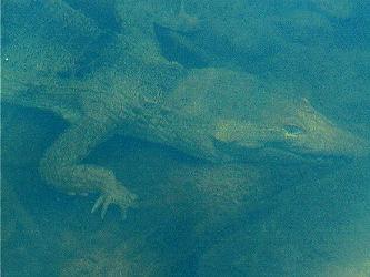 croc.jpg