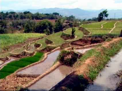 rice_paddy_long.jpg