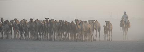 camels_headon.jpg