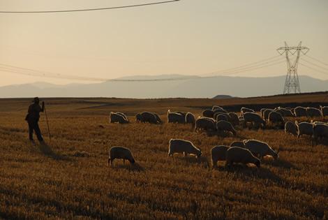 shepherd_pylons_sheep.jpg