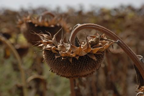 sunflower_dried.jpg